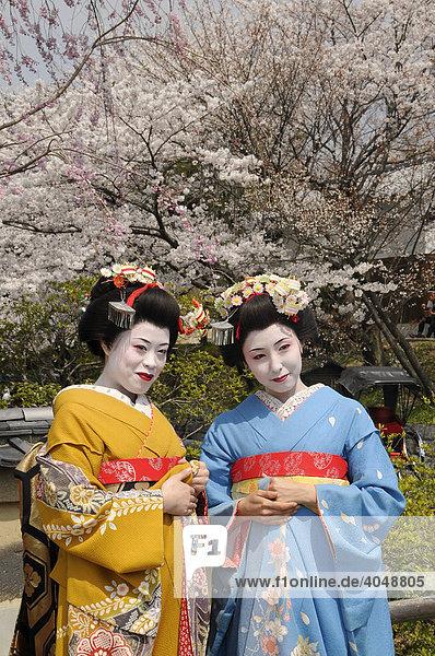 Zwei Maikos  Geishas in Ausbildung  vor einem blühenden Kirschbaum  Kyoto  Japan  Asien