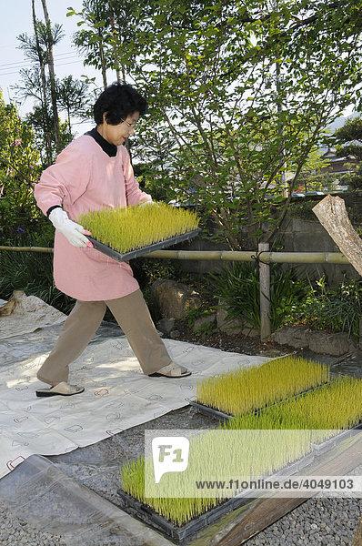 Reisbäuerin trägt die Reiskeimlinge auf Paletten aus dem Brutschrank ins Freie  Iwakura  Japan  Asien