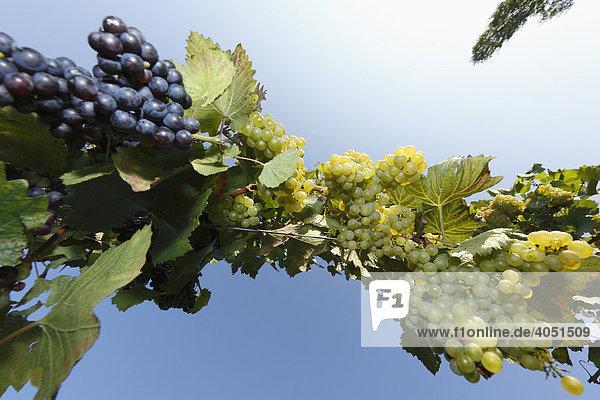 Reife Weintrauben  Weinreben aus Froschperpektive  Sausal  Steiermark  Österreich  Europa