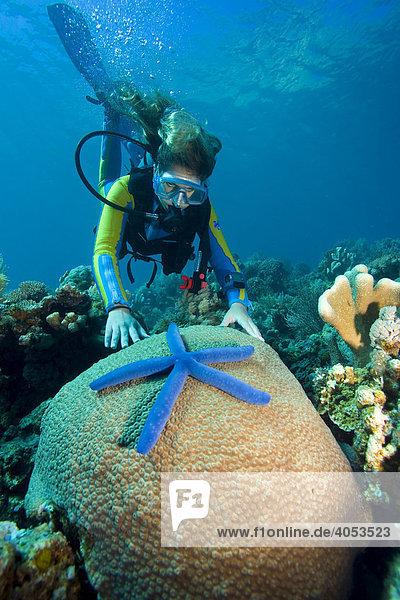 Taucher beobachtet einen blauen Seestern (Linckia laevigata) auf einer Koralle  Indonesien  Südostasien