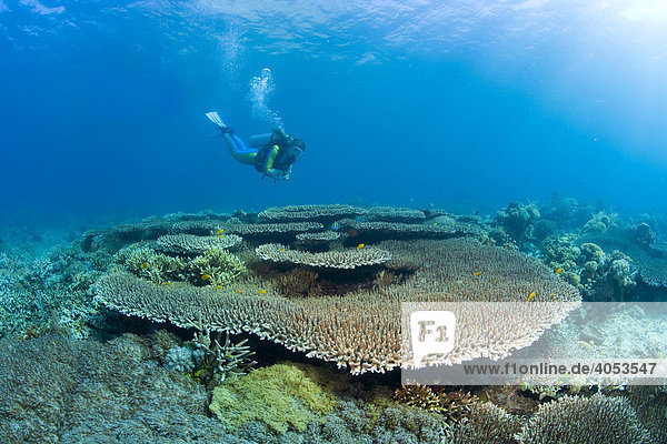 Diver swimming in a coral reef above Acropora hyacinthus (Acropora hyacinthus)  coral  Indonesia  South East Asia