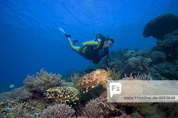Taucher beobachtet einen Breitkeulen-Sepia (Sepia latimanus)  Indonesien  Südostasien