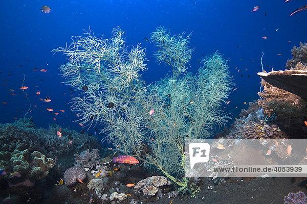 Schwarze Koralle (Antipathes sp.) auf schwarzem Meeresboden vulkanischen Ursprungs  Indonesien  Südostasien