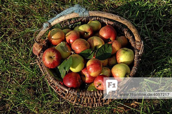 Frisch gepflückte Äpfel (Malus domesticus) in einem Korb