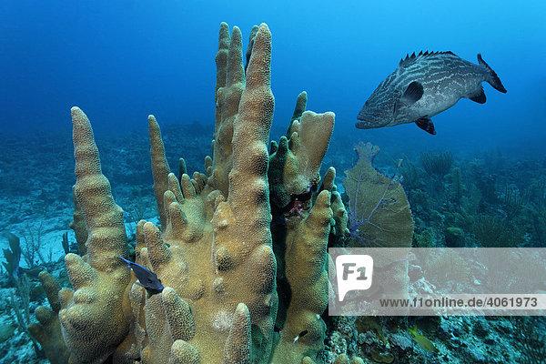 Säulenkoralle (Dendrogyra cylindrus)  mit Schwarzem Zackenbarsch (Mycteroperca bonaci)  Barriereriff  San Pedro  Insel Ambergris Cay  Belize  Zentralamerika  Karibik