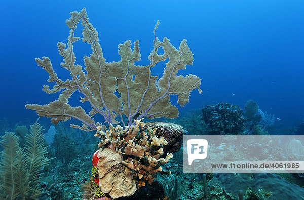Common Sea Fan coral (Gorgonia ventalina) growing on a towering block of coral on a coral reef  barrier reef  San Pedro  Ambergris Cay Island  Belize  Central America  Caribbean