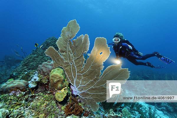 Scuba diver with a torch observing a Sea Fan coral (Gorgonia flabellum) on a coral reef  barrier reef  San Pedro  Ambergris Cay Island  Belize  Central America  Caribbean