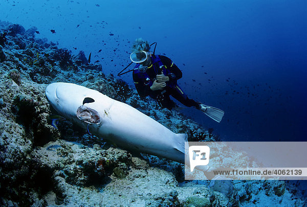 Scuba diver observing a dead Grey Reef Shark (Carcharhinus amblyrhynchos) with cut-off fins on a coral reef  Lhaviyani Atoll  Maldives  Indian Ocean  Asia
