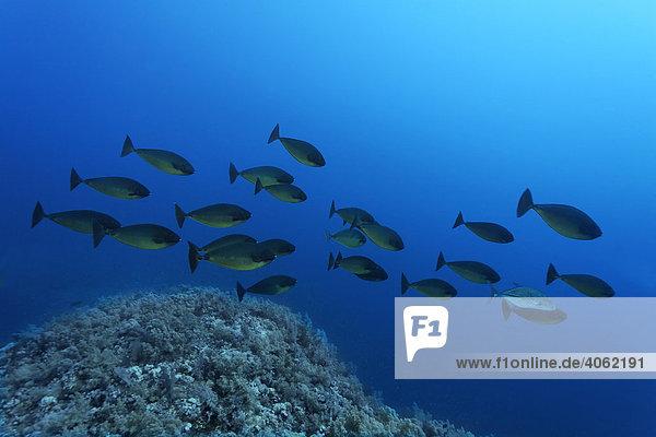 Ein Schwarm Blauklingen-Nasendoktorfische (Naso hexacanthus) schwimmt über das Korallenriff  Hurghada  Rotes Meer  Ägypten  Afrika über Korallenriff