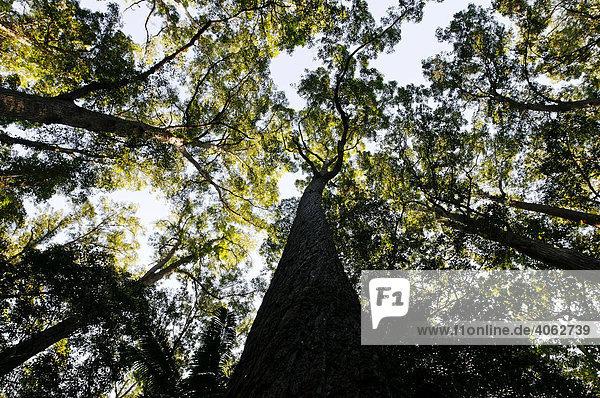 Regenwald mit Satinay Bäumen (Syncarpia hillii)  Sandinsel Fraser Island  Queensland  Australien