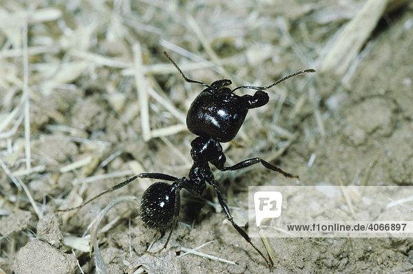 Ameise (Formicidae)  erwachsener Soldat  Crau  Südfrankreich  Europa