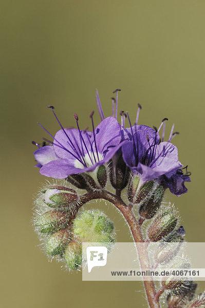 Phacelia distans  Blüten  Nahaufnahme  Joshua Tree National Park  Nationalpark  Mojave Desert  California  USA