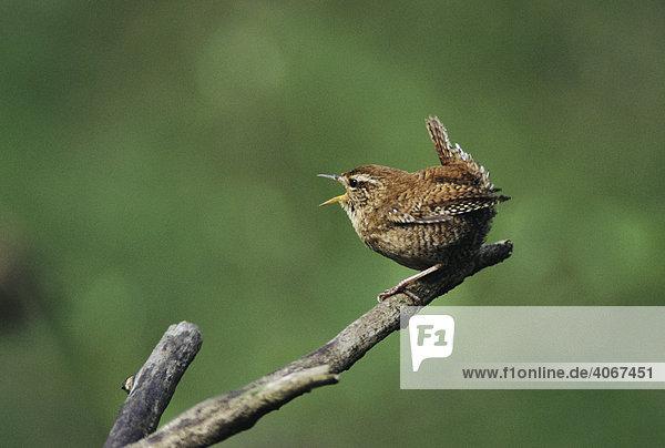 Zaunkönig (Troglodytes troglodytes)  singendes Männchen  Lachen  Schweiz  Europa