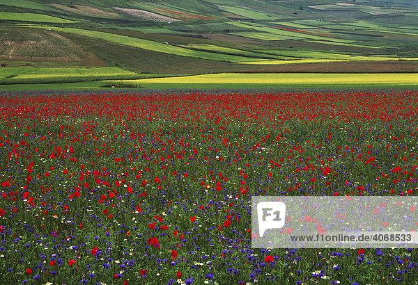 Blütezeit im Frühsommer im Piano Grande  Italien  Europa