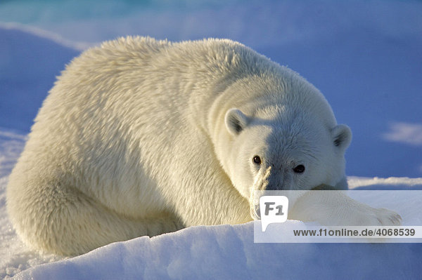 Ruhender Eisbär (Ursus maritimus) auf Spitzbergen  Norwegen  Arktis