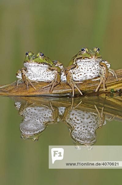 Drei Wasserfrösche (Rana esculenta) nebeneinander mit Spiegelbild