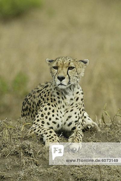 Gepard (Acinonyx jubatus)  erwachsen  Masai Mara  Kenia  Afrika