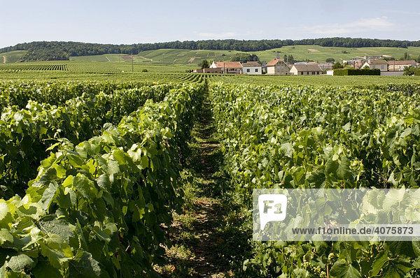 Weinberge und Häuser  Verlus  Champagne  Frankreich  Europa