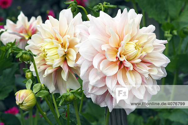 Dahlia cultivar Break Out (Dahlia Break Out)  flowering dahlia