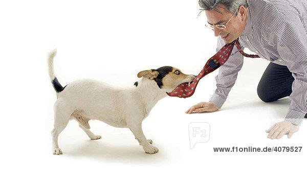 Jack Russell  Hund zieht an Krawatte eines Mannes