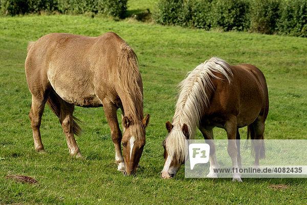Pferde auf einer Weide  Pfalz  Rheinland-Pfalz  Deutschland