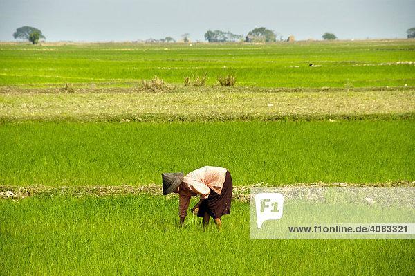 Frau mit Reishut im Reisfeld Burma