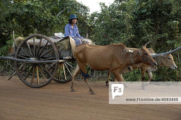 Archaischer Transport Frau auf Ochsenkarren bei Kompong Thom Kambodscha