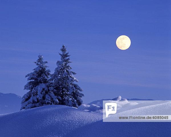 Tannen Fichten im Winter Schnee Vollmond