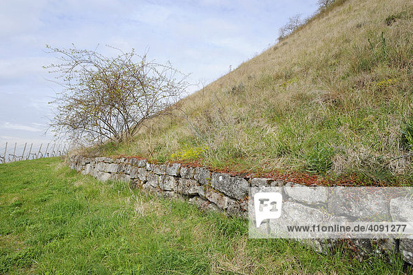 Dry stone wall at a mountain side in a wine-growing district by Stuttgart  Baden-Wuerttemberg  Germany  Europe