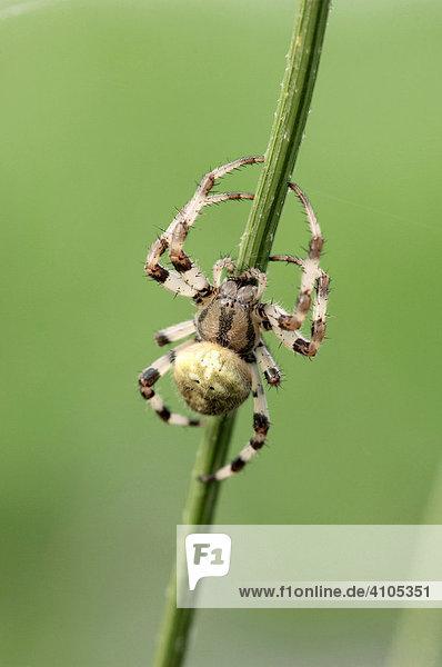 Vierfleck-Kreuzspinne (Araneus quadratus)
