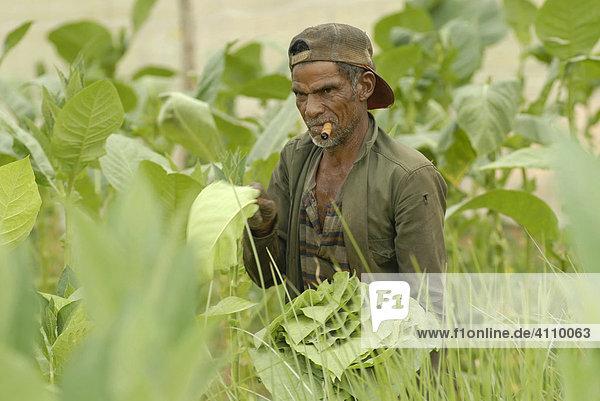 Rauchender Mann bei der Tabakernte in Pinar del Rio  Kuba