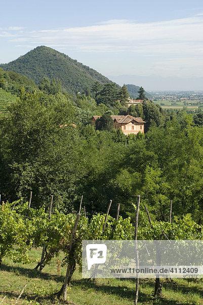 Landschaft mit Hügeln und Weinbergen  Euganeische Hügel (Colli Euganei) bei Padua  Venetien  Italien