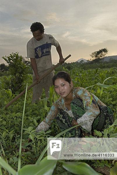 Bauern bei der Arbeit auf dem Erdnussfeld  Koh Kong Province  Kambodscha