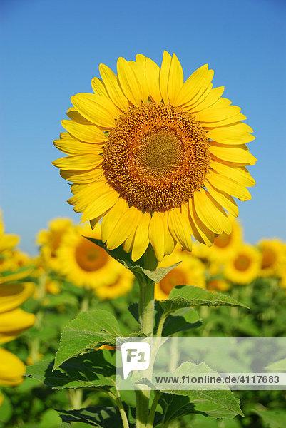 Sonnenblumen bei Diamante  Provinz Entre Ríos  Argentinien