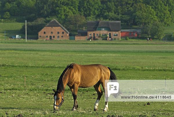 Weidendes Pferd im Mönchgut  Insel Rügen  Mecklenburg-Vorpommern  Deutschland  Europa