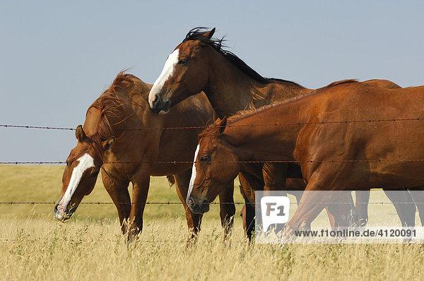 Drei Pferde drängen sich zusammen entlang eines Zauns auf der Prärie  Southern Saskatchewan  Kanada