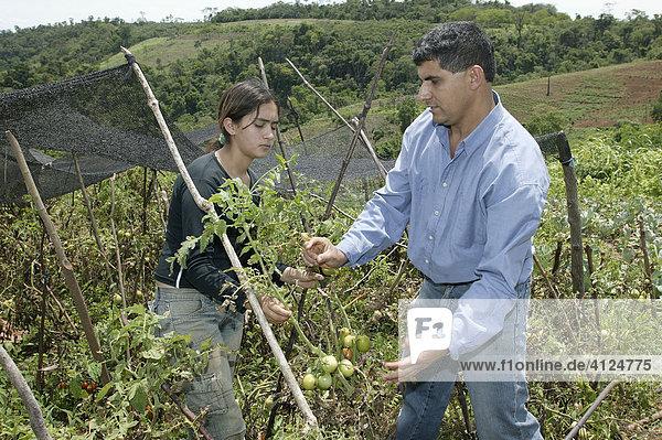 Frau und Mann binden Tomatenpflanzen hoch  Asuncion  Paraguay  Südamerika