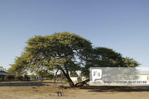 Der Dorf-Baum  unter dem die Versammlungen stattfinden  Sehitwa  Botswana  Afrika