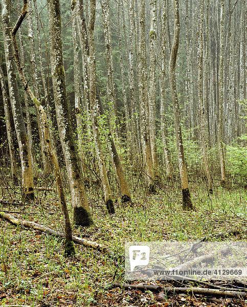 Riparian forest  springtime