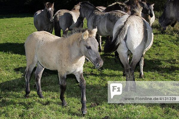 Konik horses - herd with foal (Equus przewalskii f. caballus)