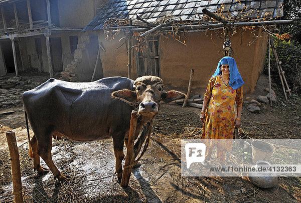 Indo-German-Changar-Eco-Development- Projekt  Kashri Dai wäscht ihren Ochsen  Kuhan  Palampur  Himachal Pradesh  Indien