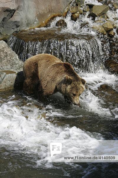 Kodiakbär (Ursus arctos middendorffi) im Wasser  ZOOM Erlebniswelt  Gelsenkirchen  Nordrhein-Westfalen  Deutschland  Europa
