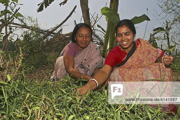 Indische Frauen pflücken Erbsen (Pisum sativum)  Westbengalen  Indien