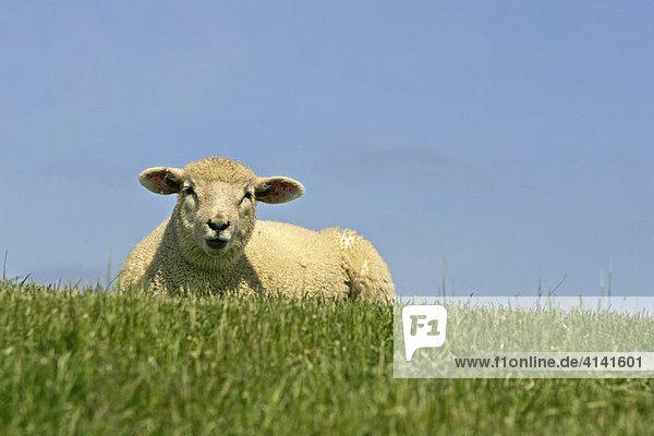 Deich-Schaf auf einem Deich bei Morsum  Sylt  Schleswig-Holstein  Deutschland