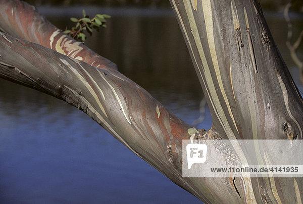 Rinde des Berg-Eucalyptus (Eucalyptus dalrympleana)  Tasmanien  Australien