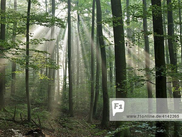 Sonnenstrahlen durchfluteten Wald  Odenwald  Deutschland Sonnenstrahlen durchfluteten Wald, Odenwald, Deutschland