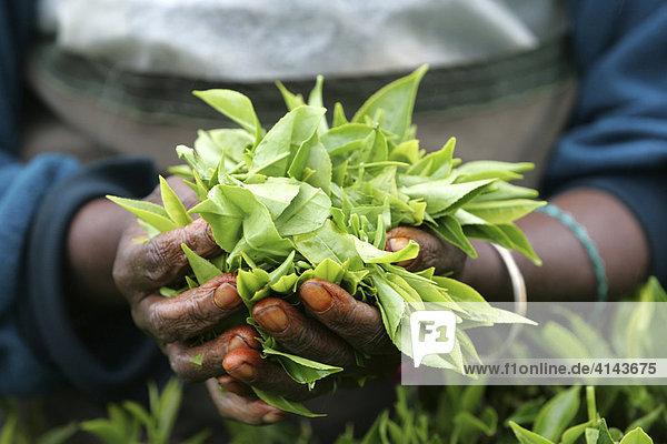 LKA  Sri Lanka: Nuwara Eliya  Hochland  Teeanbaugebiet. Sri Lanka gehoert zu den 23 groessten Tee-Exporteuren der Welt. Teepflueckerin im Teefeld. Traditionelle Frauenarbeit.
