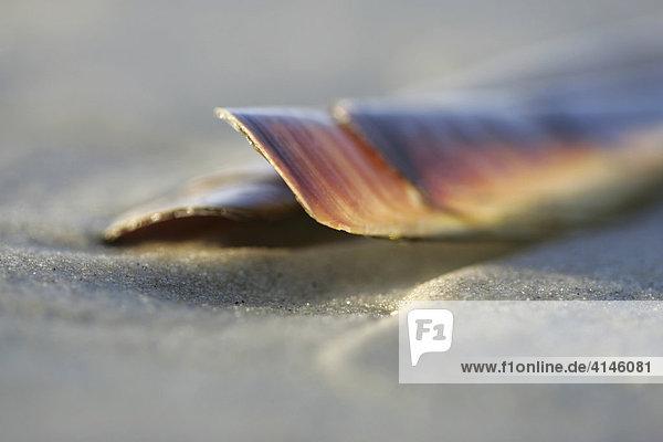 Schwertförmige Scheidenmuschel  Schwertförmige Messerscheide  Gebogene Schwertmuschel (Ensis ensis)  am Strand  Nordfriesische Insel  Nordfriesland  Schleswig-Holstein  Deutschland  Europa