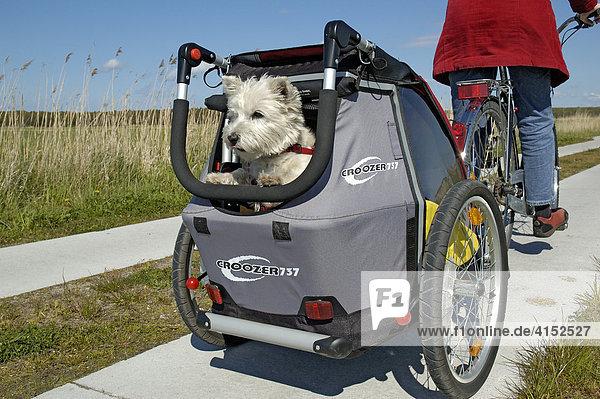 West Highland White Terrier schaut aus einem Fahrradanhänger für Kinder