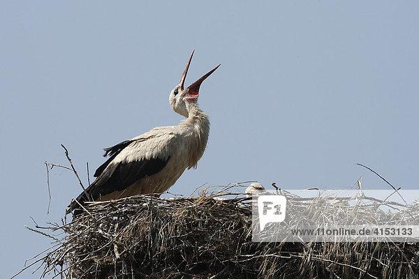 Weißstörche mit Jungen im Nest ( Ciconia ciconia )